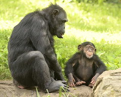 Heard That Before! (019709) (Mike S Perkins) Tags: kczoo lucy milo chimpanzee baby daughter green emotion feelings bored kansascityzoo pantroglodytes