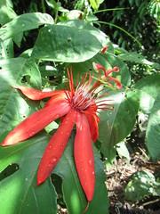 FLORA: Vegetacin de la zona de estudio (ProAves Colombia) Tags: flora vegetacin acompaante passiflora sp