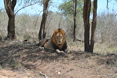 Relaxing Lion // Kruger (Alice Stedman) Tags: lion mammal animal beast wild wildlife interested aware alive kruger southafrica discover chance luck ponder wonder travel explore adventure