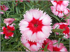 Dianthus .. (** Janets Photos **) Tags: uk flowers flora dianthus pinks perennials