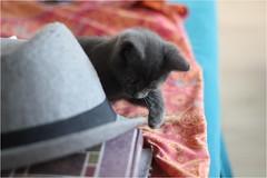 IMG_2504 (murkla_la) Tags: cat russianblue moussie gray graycat
