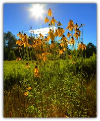 Black-eyed Susans (Tom Mortenson) Tags: rudbeckiahirta summer sun hot canon canon6d flowers wildflowers colorful color yellow canoneos blackeyedsusans country rural digital langladecounty langladecountywisconsin wisconsin eltonwisconsin bluesky floral geotagged northernwisconsin usa america northamerica 24105l july nature midwest wi natural