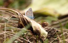 Papillon (Carahiah) Tags: macro nature insect insecte azurcommun argusbleu