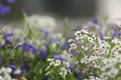 Alyssum und Lobelien (im_fluss) Tags: lobelien mnnertreu alyssum flowersonourbalcony blumenaufunserembalkon sommer summer
