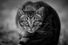 inquiring (rondoudou87) Tags: chat cat blackwhite black white noiretblanc noir blanc pentax k1 nature animal felin regard face jardin garden eyes yeux
