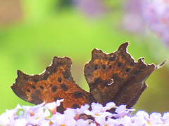 x P2530124c VERY 'Weather'-Beaten COMMA . . ! !! ! (Erniebobble::) Tags: erniebobble 2016 nature newforest wildlifegarden wildlife butterfly wings lepidotera bct colours edge education study portrait textural shape summer suspended feeding green environment ecosystem biodiversity balance harmonious peaceful gentle restful tranquil transient fleeting metamorphosis climate endangered pollination nectar secretworld painting pattern surface art above weather ephemeral biomarkers changing chrispackham garden transition