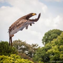 Drle de Pygargue (Fabien Legagneur) Tags: pygargue bird rapace oiseau parczoologique pairidaiza canon eos500d belgium belgique