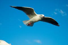 IMG_6336-2 (gsreejith) Tags: silvergull inflight birds birdinflight blue sky