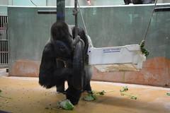 Gorilla Bokito (Huib Smit) Tags: gorilla zoo animal bokito zilverrug silverback diergaarde blijdorp