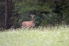 Kouta (natalija2006) Tags: jelenjad red deer cervus elaphus kouta hind female narava nature wildlife divjad slovenia