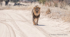 Black maned lion (Gowild@freeuk.com) Tags: lion kalahari kgalagadi transfrontier park reserve national southafrica african blackmane mammal animal wild wildlife nature andrewmarshall nikon d800e safari bush desert dust road track