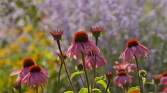 """Morning has broken like the first morning..."" (Pureheart11) Tags: flowers coneflowers colormedley garden brightandbeautiful catstevens morninghasbroken ngc saariysqualitypictures coth"