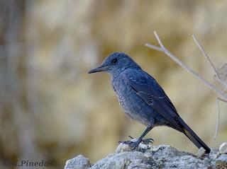 Roquero solitario-Merla blava (Monticola solitarius)
