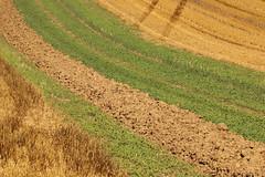 Rural Abstract (gripspix (OFF)) Tags: 20160823 natur nature pflanze plant rural lndlich fileds felder abstract abstrakt graphic grafisch lines linien flchen areas
