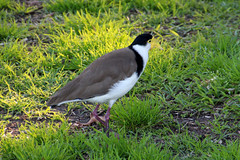 Masked Lapwing (NTG's pictures) Tags: sydney nsw australia masked lapwing