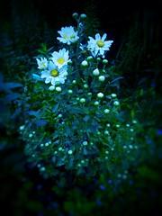 (YUKARITAKAMURA) Tags: green nature flowerlove bule grn naturaleza mobilephone blue  flower natur nature  flowerlovers green natura