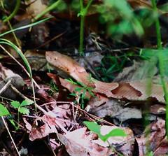 Copperhead #1, Lost Valley - Northwest Arkansas1 (danjdavis) Tags: copperhead snake reptile lostvalley buffalonationalriver arkansas