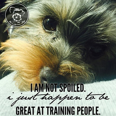 Sounds about right (itsayorkielife) Tags: yorkiememe yorkie yorkshireterrier quote