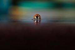 031315 - 339/365 (Explore) (Dan Fleury Photos) Tags: red ontario canada macro closeup canon bug insect fight pod close menacing explore ladybug shallow napanee project365 p365