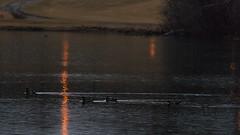 FireWood (jmishefske) Tags: park wood bird nature water rain wisconsin franklin duck pond nikon center milwaukee april wehr woodie 2015 whitnall mallardlake halescorners d800e