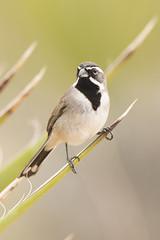Black-throated sparrow (Amphispiza bilineata) (Joshua Tree National Park) Tags: california nationalpark desert joshuatree sparrow blackthroated amphispizabilineata