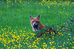 wild fox in wild flowers (robertskirk1) Tags: nature animal virginia wildlife va fox mclean defendersofwildlife sweetfreedom animaladdiction specanimal fantasticnature thewildlife purelynature nationalgeographicwildlife kentgardenspark