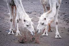 Camels (iconic_lens) Tags: تصميم عرب جمال دبي تصوير عدستي صوري تصويري السعودية لقطة كانون نياق سياحة لايك هاشتاق المصورون غردبصورة منتصميمي عربفوتو هاشتاقاتانستقرامالعربية منتصوير