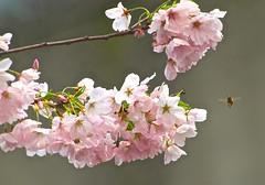 Bee-autiful  Blossoms! (Irene, Montreal, QC) Tags: spring bees bee springflowers springblossoms floweringtrees wonderfulnature springblooms pinkpetals beeautiful springscenes ornamentalcherrytrees ornamentaltrees allnature pinkblooms allflowers springpetals wonderfulpetals