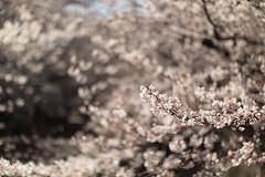 A wave of cherry blossoms (toshihide.sato) Tags: spring  cherryblossom sakura meguro