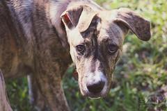 8 (BAMphotos1) Tags: dog baby cute love nature canon garden puppy sweet pitbull t5 canonrebel dslr canoneos pitmix canont5 canonrebelt5