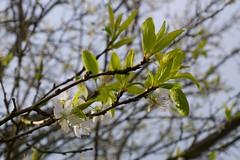 Plum blossoms (jenn2d2) Tags: fruit garden spring blossoms olympia washingtonstate plumblossoms fruittrees pruneblossoms