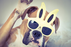 DSC08333.jpg (Wiggle Butts Pet Photography) Tags: dog silly bunny yellow puppy easter happy glasses ears canine shades boxer