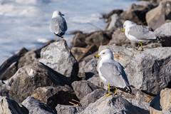 Seagull Lookout (Havoc315) Tags: park river nikon c over victor poughkeepsie walkway d750 hudsonriver hudson waryas walkwayoverthehudson victorcwaryaspark nikond750