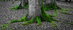Moss on roots (Thomas Frejek) Tags: deutschland born buchenwald moss balticsea ostsee moos mecklenburgvorpommern 2014 beechgrove darswald