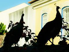 Realeza natural lusitana (Marco Sky) Tags: portugal animal silhouette turkey real lumix lisboa lisbon ave silueta pavo fz100