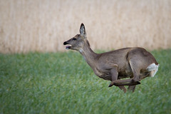 Reh 1 (National Wildlife Photographer) Tags: natur feld wiese grn reh sprung sugetier