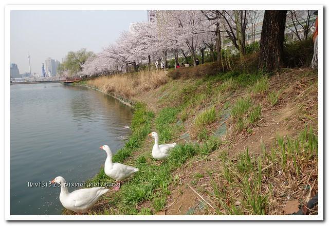 석촌호수벚꽃길30