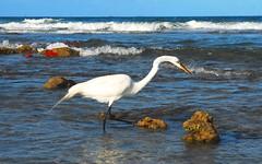 Fishing the Reef (Patty Ballay) Tags: ocean surf waves florida reef greategret marinelife greatwhiteegret pattyballay