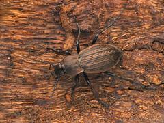 Carabus cancellatus (Tams Nmeth) Tags: macro beetle ground finepix fujifilm coleoptera carabidae carabus futrinka cancellatus hs25exr