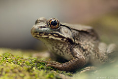 Prince Charming (Tammy Schild) Tags: eye texture nature closeup canon moss spring amphibian frog 135l