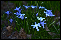Springtime blues. April flowers... (L.Lahtinen (nature photography)) Tags: april spring suomi kukat flowers blue nature luonto finland countryside plants kasvit nikon kevätkukat isokevättähti gloryofthesnow scilla flickr d3200 nikond3200 europe