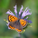 American Copper (Lycaena phlaeas) Butterfly