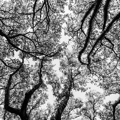 Above South Blvd No. 12 (Mabry Campbell) Tags: trees blackandwhite usa abstract nature monochrome up vertical landscape photography photo texas photographer unitedstates image branches unitedstatesofamerica fineart january houston hasselblad photograph liveoak april 15mm squarecrop 2500 oaktrees fineartphotography f35 2016 2015 northblvd commercialphotography harriscounty liveoaktrees southblvd westuniversity intimatelandscape sec mabrycampbell h5d50c january142015 20150114h6a2195 abovesouthblvd