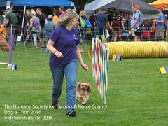 DAT2016_Agility_1183 (greytoes_99) Tags: agility dat2015 dat2016 event humanesocietytacoma people summer tacoma tacomahs volunteers dog humananimalbond cat lakewood wa us