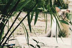 El malo. (leonardomuoz99) Tags: naturaleza verde green nature cat nikon zoom venezuela gato coolpix felino mascota serio jardn serius p500 cuman nikoncoolpixp500