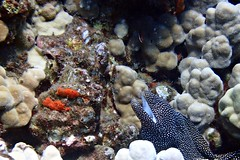 whitemouth moray (Skeptic14) Tags: white mouth moray mala pier