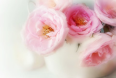 pink roses (Ani Carrington) Tags: rose roses pink petals soft stillife stilllife white delicate