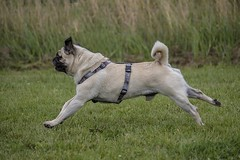 have a good start into the new week (Henry der Mops) Tags: 90a0798 henrydermops pug mops henry mplez canoneos7dmarkii