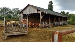 Rinder bei Köngernheim
