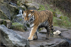 The beauty queen (Fisherman01) Tags: amurtiger zoozrich